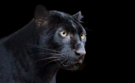 Beautiful black panther on dark bacground