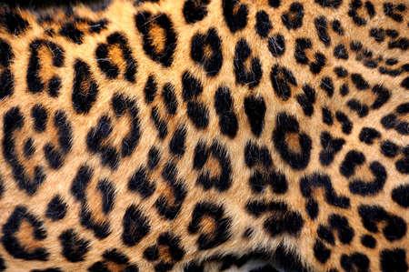 piel: Textura de la piel del leopardo para el fondo