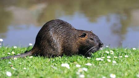 muskrat: The muskrat (Ondatra zibethicus) in grass on lake background Stock Photo