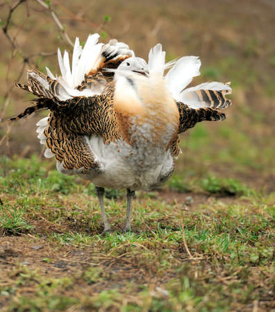 Great Bustard (Otis tarda) photo