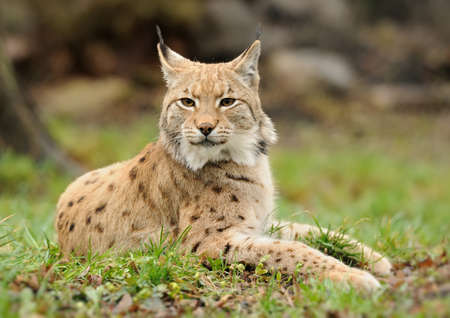 captivated: Young lynx on grass in nature Stock Photo