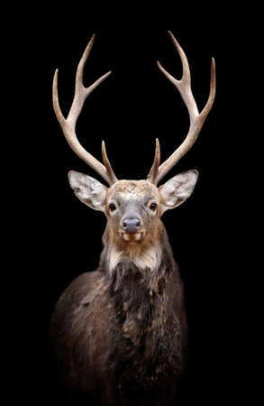 white tail deer: Portrait red deer on dark background