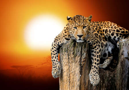 cat silhouette: Leopard sitting on a tree Stock Photo