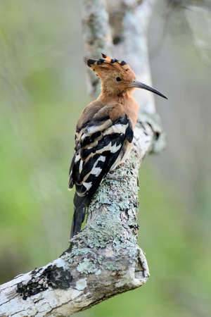 Beautiful hoopoe (Upupa epops) possing on branch photo