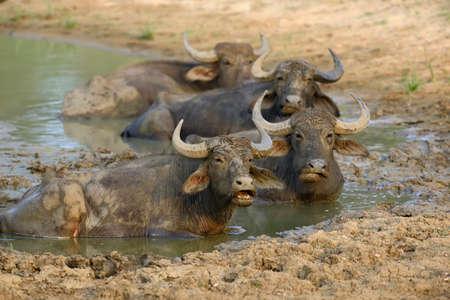 Water buffalo are bathing in a lake in Sri Lanka photo