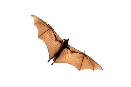 genitals: Flying fox isolated on white background