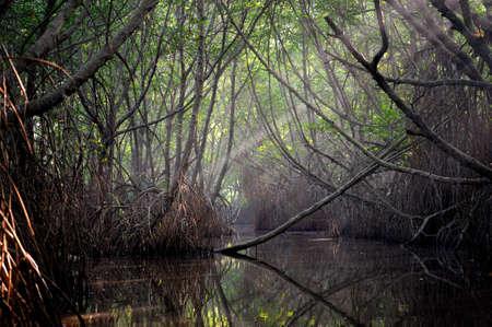 selva: Matorrales de �rboles de mangle en la zona de mareas. Sri Lanka Foto de archivo