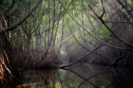 Thickets of mangrove trees in the tidal zone. Sri Lanka