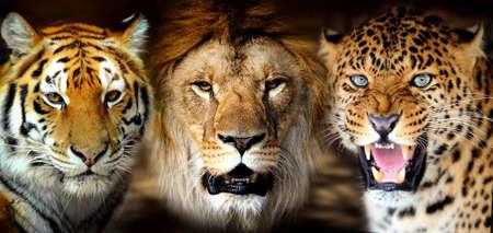 Portrait tiger, lion, leorard on black background