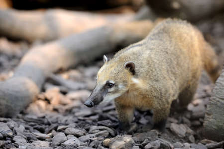 and diurnal: The coati (Nasua) a predator from South America