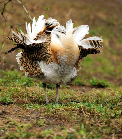 Great Bustard (Otis tarda) in nature photo