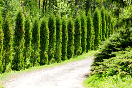 Thuja alley and road in summer photo