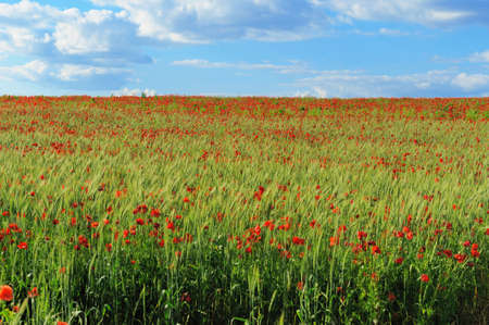 field and sky: Red poppies on green field, sky and clouds