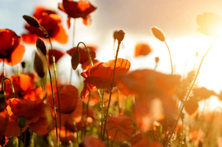 Field of bright red corn poppy flowers in summer photo