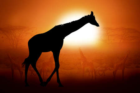 Silhouettes giraffe against the sunset in Africa
