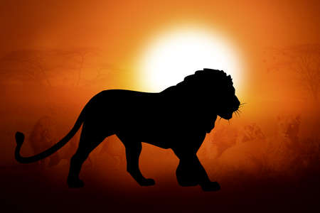 african lion: Silhouettes lion against the sunset in Africa Stock Photo
