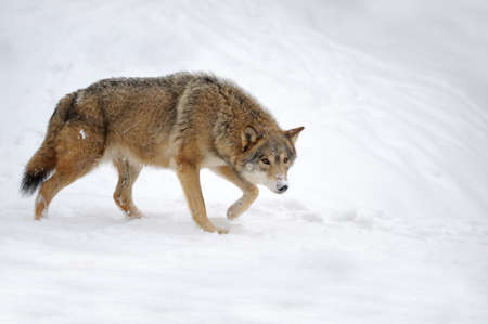 wolf face: Beautiful wild gray wolf in winter