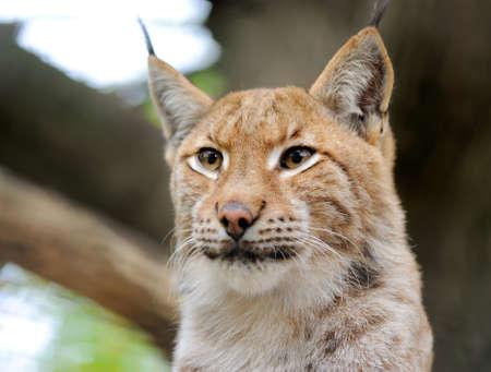 captivated: Lynx