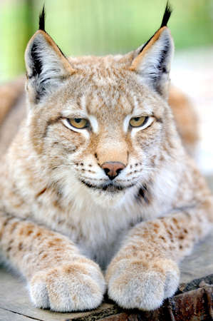 captivated: Lynx portrait