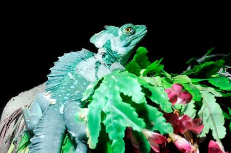 vittatus: Plumed Basilisk on a branch on dark background