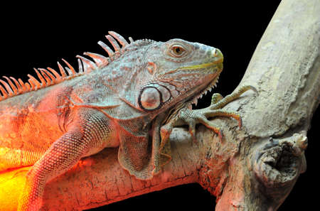 species of creeper: Closeup young brown iguana reptile Stock Photo
