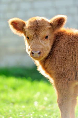 highland: Little bull, scottish highland cattle