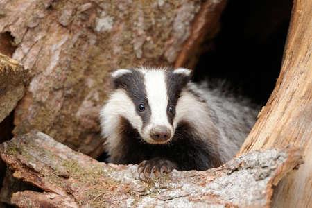 animales del bosque: Badger cerca de su madriguera en el bosque