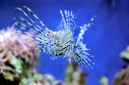 turkeyfish: A lionfish swiming over seagrass Stock Photo
