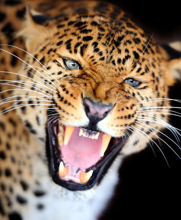 angry face: Leopard portrait on dark background