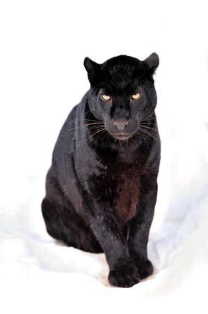 jaguar: Primer plano de leopardo negro en la nieve Foto de archivo