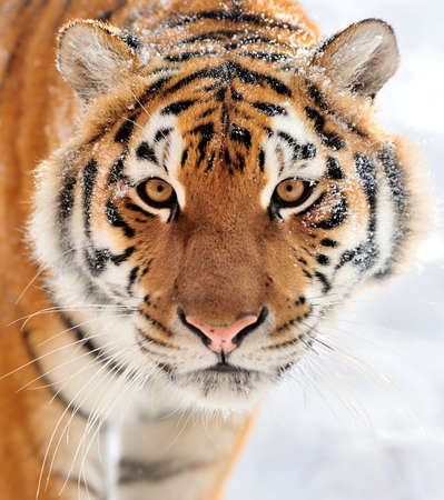 Beautiful wild siberian tiger on snow photo