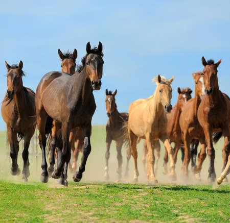 Horses run on field in summer photo