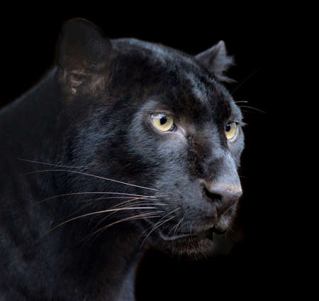 jaguar: Hermosa pantera negro en fundamento oscuro