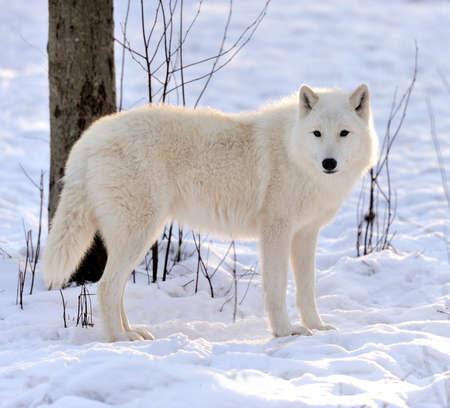 겨울에 아름 다운 야생 흰 늑대