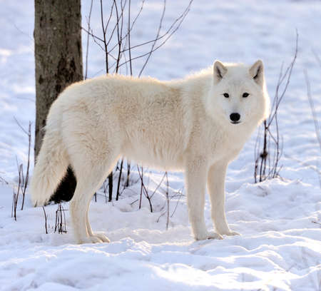 Beautiful wild white wolf in winter