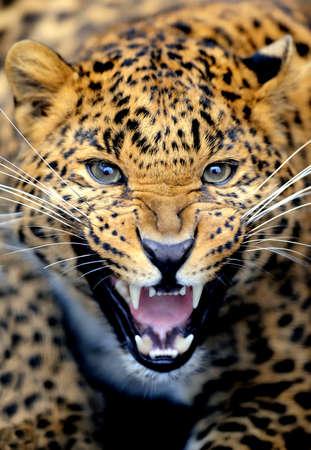 Leopard portrait photo