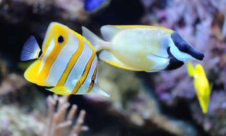 rostratus: Photo of a tropical fish on a coral reef