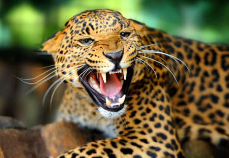 動物: 豹肖像 版權商用圖片