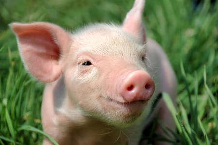 若い豚の緑の草の上