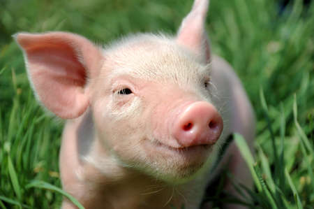 snout: Young pig on a green grass Stock Photo