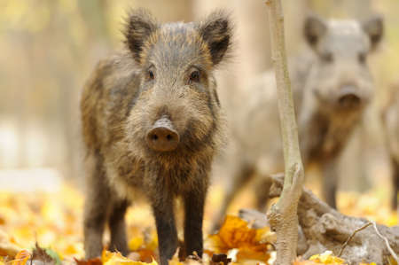 scrofa: Wild boar in autumn forest Stock Photo