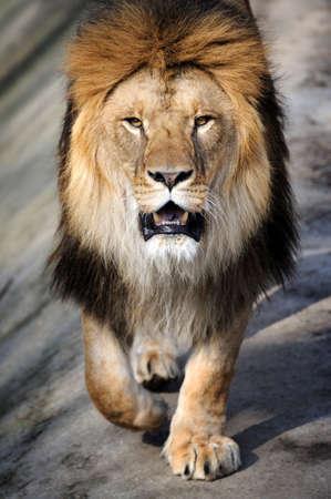 Крупным планом льва Фото со стока