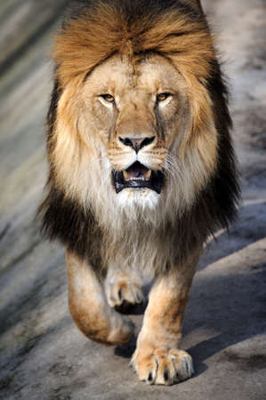 cabeza: Primer plano de león