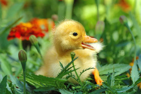 yellow duckling: Yellow duckling