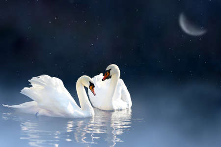 swimming swan: Love couple swan in night lake Stock Photo