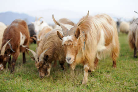 Goat in meadow. Goat herd photo