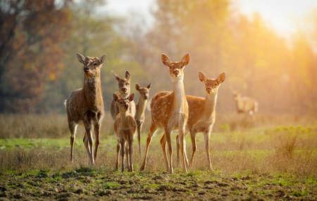 Deer in autumn field