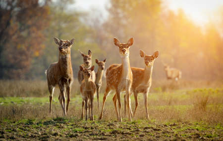 white tail deer: Deer in autumn field