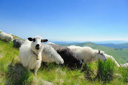 Schafherde in einem Bergtal Standard-Bild - 37376805