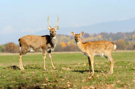 Beautiful Red Deer in meadow Stock Photo